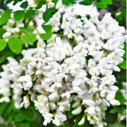 Fehérakác virág